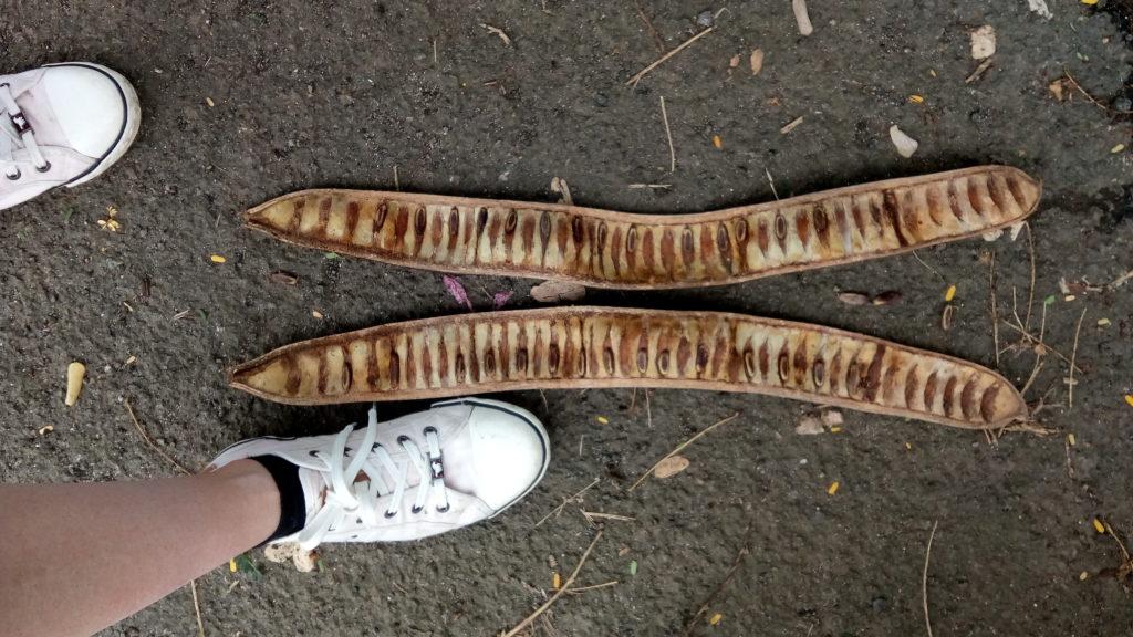 grosse cosse de flamboyant avec ses graines dedans. Mon pied est à côté pour se rendre compte de la taille de la cosse.
