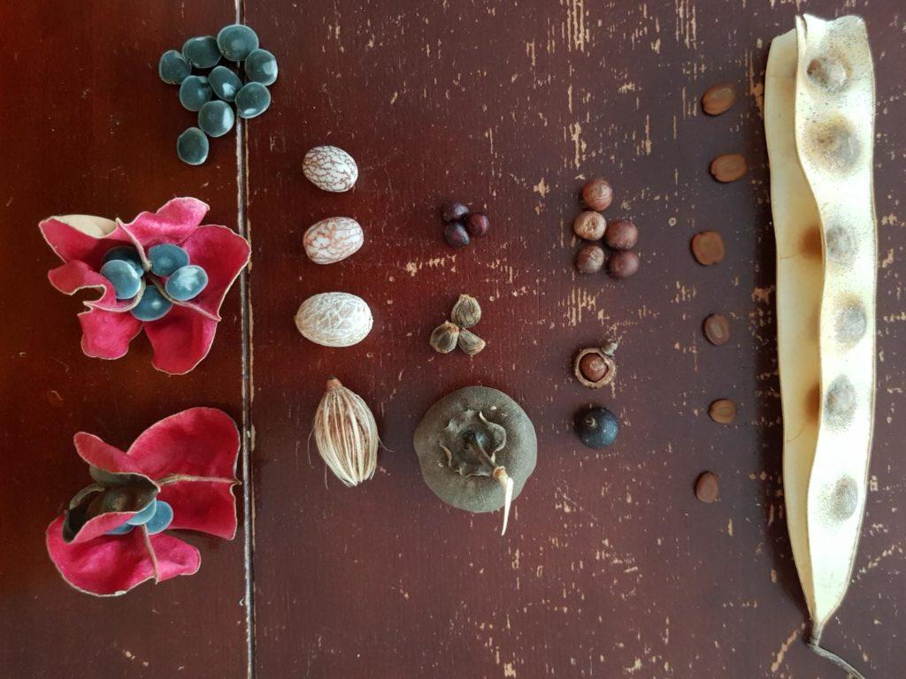 Plusieurs graines présentées : zanzibar dans sa fleur, palmier royal nain dans sa cosse puis poncé, catalpa dans sa cosse puis poncé, palmier céleri et langue de vieille femme avec sa cosse.